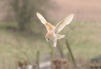 Barn-Owl-at-Brown-Candover-by-David-Wilson