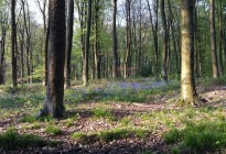 Bluebell-Woods-by-Nicholas-Irons