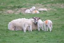 Ewe-and-Lambs-by-David-Wilson