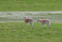 Spring-Lambs-by-David-Wilson